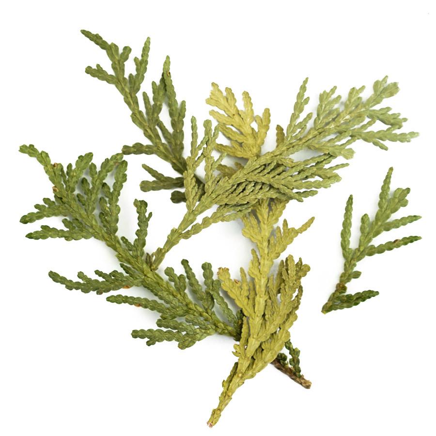 eastern-white-cedar